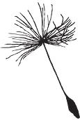 dandelion seed for logo